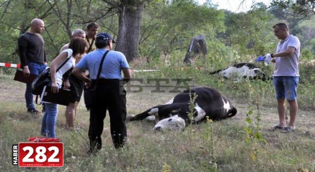 Bulgaristan'da ineklerin telef olduğu iddiası üzerine Meriç Nehri'nden tedbiren numune alındı