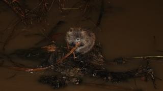 """""""Kırmızı alarm"""" verilen Tunca Nehri'nde su maymunları görüntülendi"""