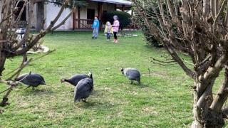 """Edirne'deki """"çevreci cami""""nin bahçesindeki Afrika cinsi tavuklar ilgi çekiyor"""
