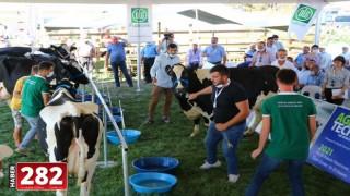 """Tekirdağ'da """"güzellik yarışması"""" için getirilen ineğin kaçması heyecana neden oldu"""